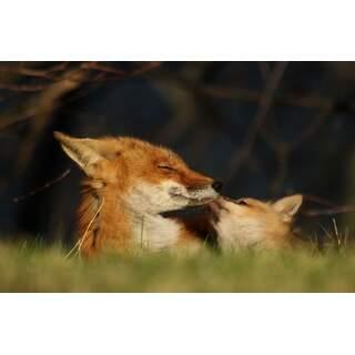 Fox-09