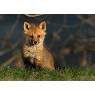 Fox-05