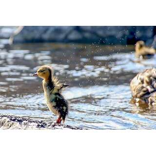 Baby Duckling Flap