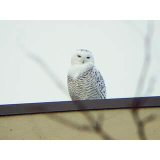 Owl-03